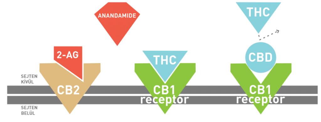 ekr receptorok
